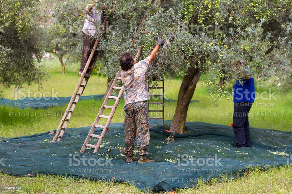 Picking Olives in Sicily, Italy stock photo