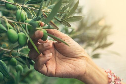 istock Picking olives 859310562