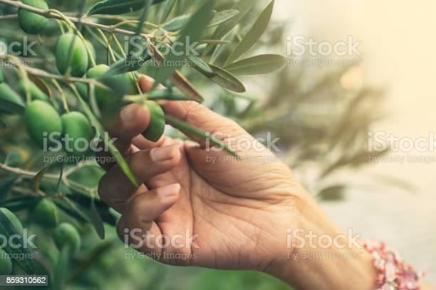 Picking olives picture id859310562?b=1&k=6&m=859310562&s=612x612&h=5evx kc3goxwuu0o35c0jicxxdjce rttmfs1z9ekz4=