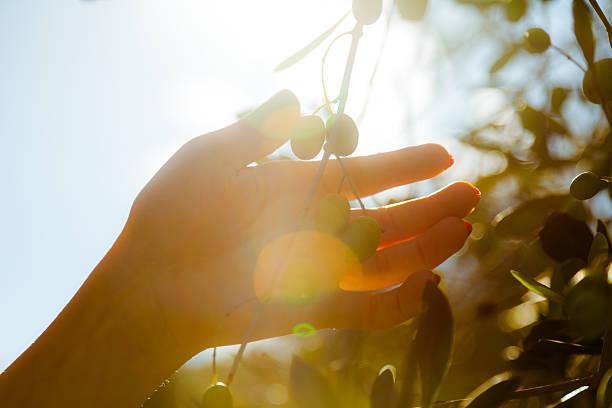 apanhar frutos azeitonas sob o sol na toscana - oleo palma imagens e fotografias de stock