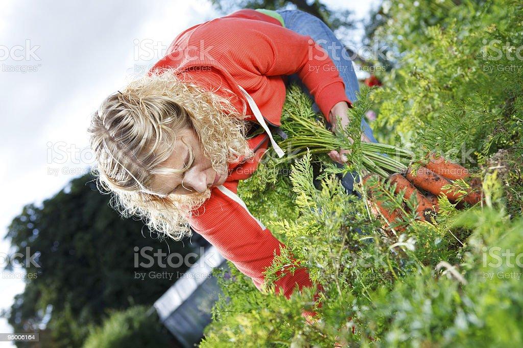 Picking organic carrots royalty-free stock photo