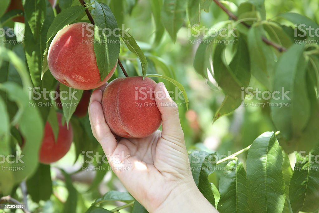 Picking Peaches - close-up of hand and peaches stock photo