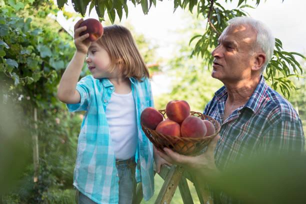 picking peaches - pesche bambino foto e immagini stock