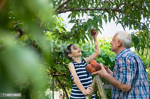 Grandfather and granddaughter picking peaches.