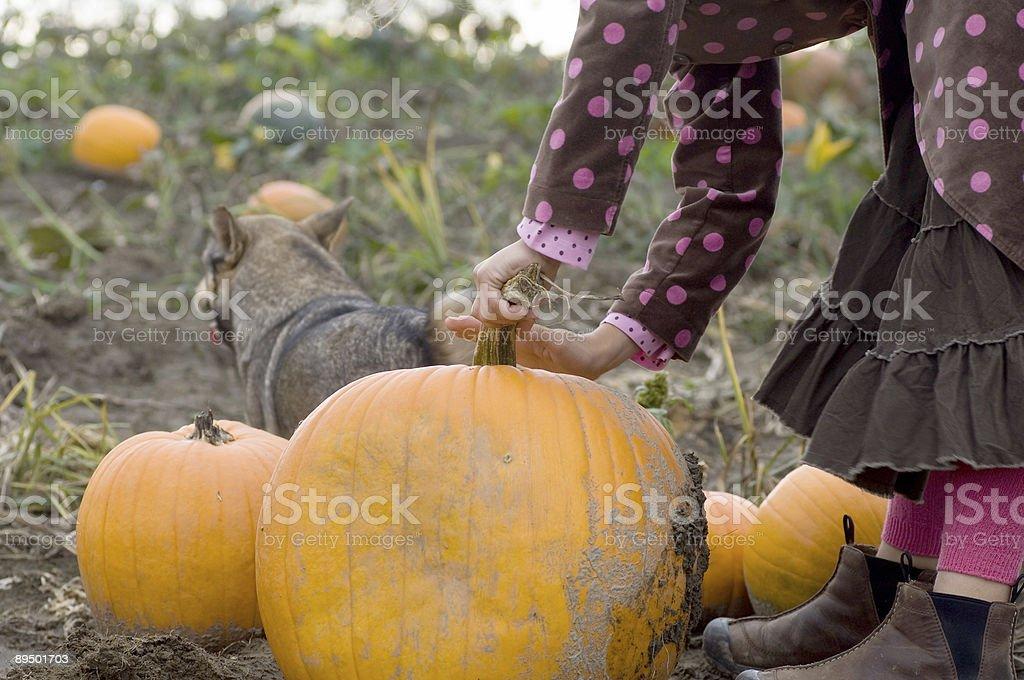 Picking pumpkins royalty free stockfoto