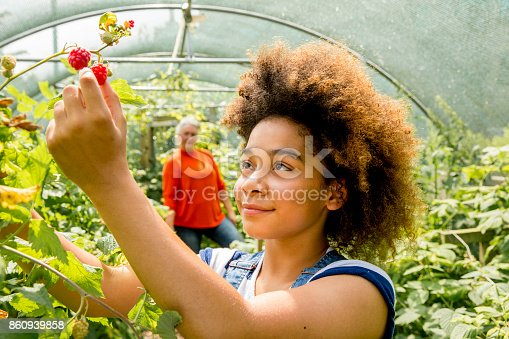A young girl picks raspberries in the greenhouse at the farm.