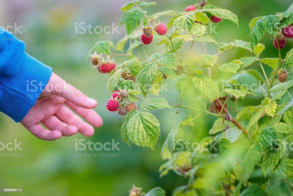 Picking Raspberry stock photo