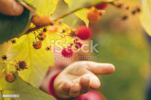 istock Picking Raspberry 868592804