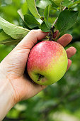 Red side apple on tree branch surrounded by green leaves. Woman's hand is holding apple just before picking it. Harvest season and healthy eating concepts. Unfocused orchard garden at background.
