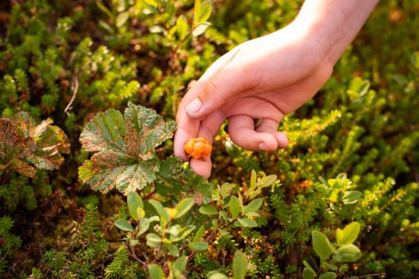 Ernte von reifen Beeren Rubus chamaemorus im Wald – Foto