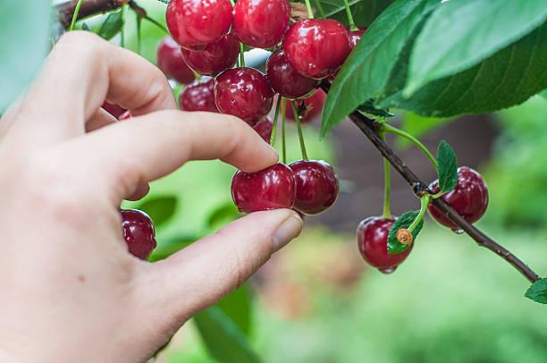 picking sour cherry - plukken stockfoto's en -beelden