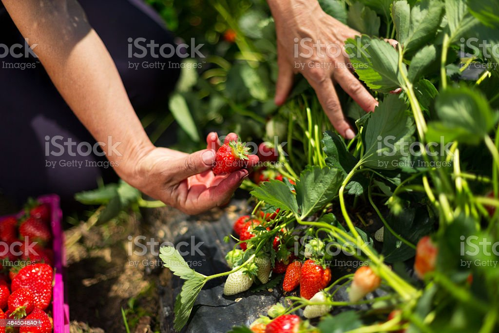 Picking strawberries out of the field stock photo