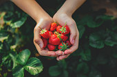 Picking Strawberries Outdoors