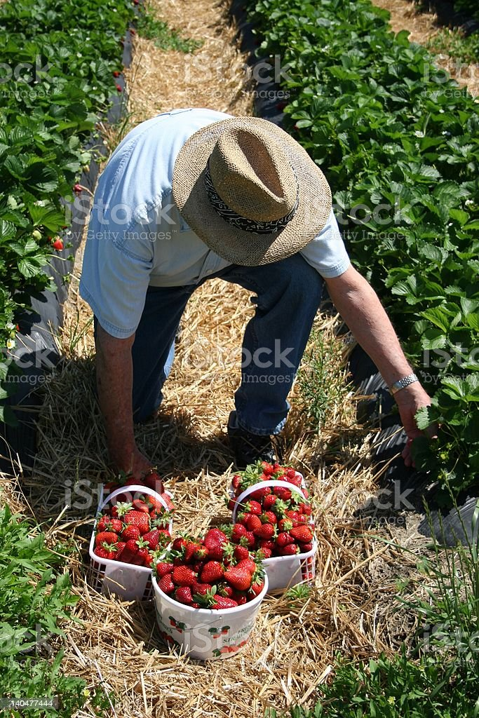 Picking Strawberries royalty-free stock photo