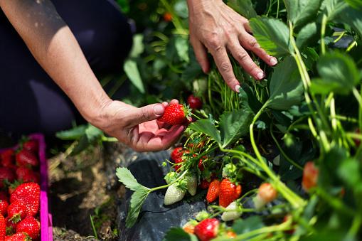Unrecognizable person picking fresh, ripe strawberries, copy space