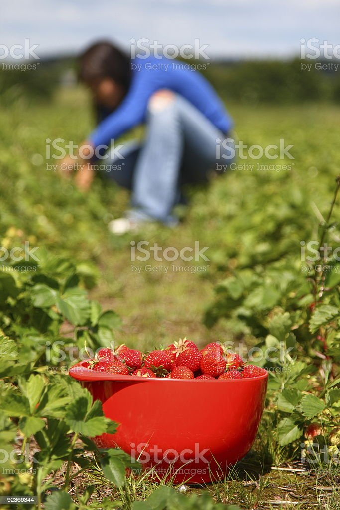 Picking Strawberries royalty-free stock photo