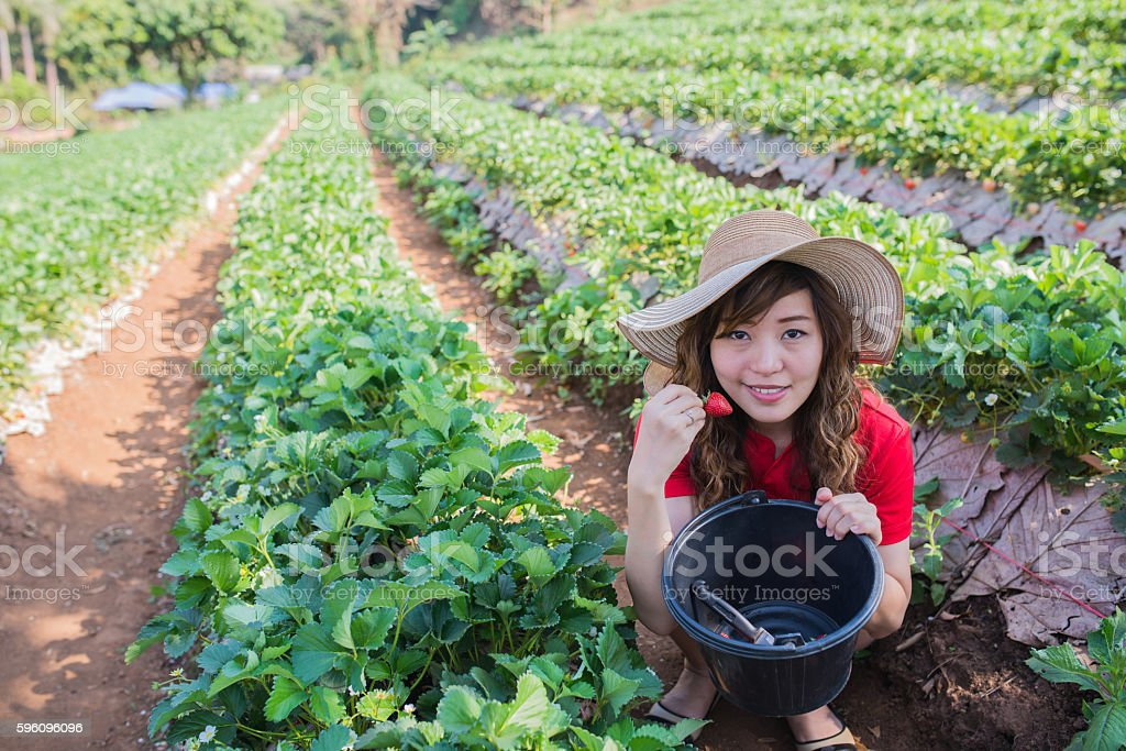 Picking strawberry royalty-free stock photo