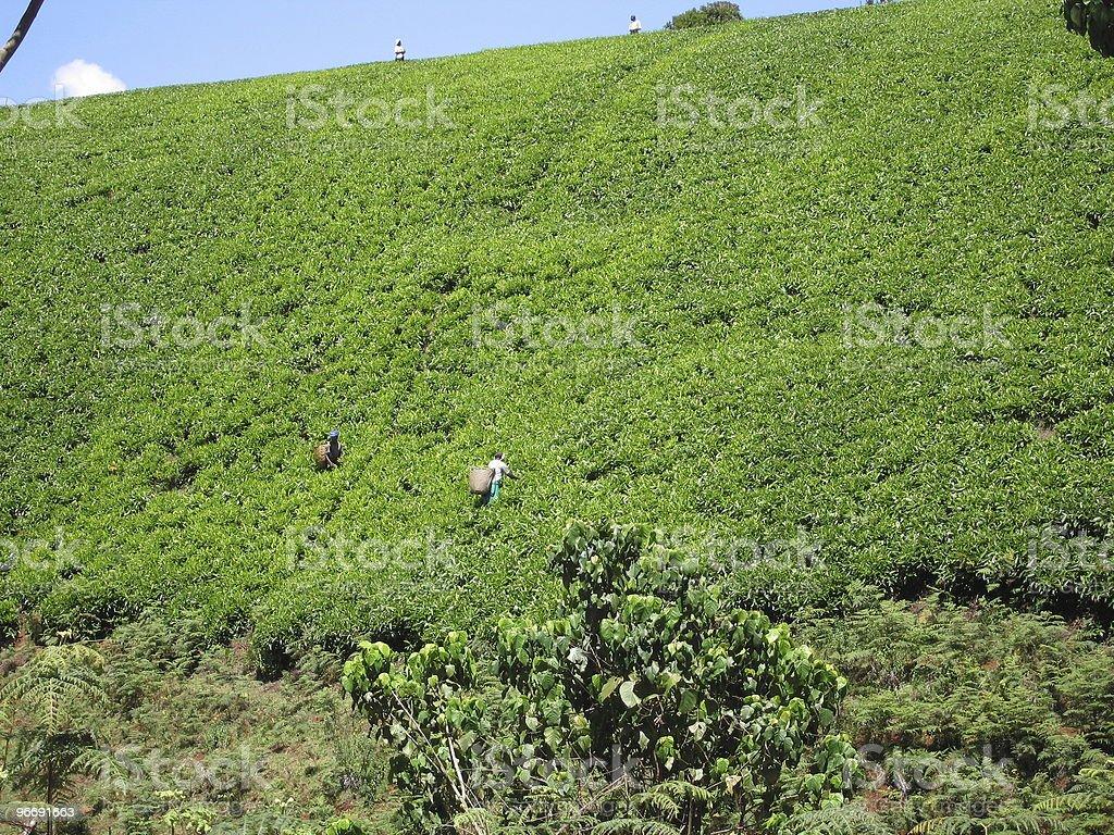 Picking Tea in Kenaya royalty-free stock photo