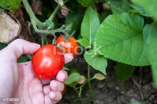 a hand picking tomato from garden