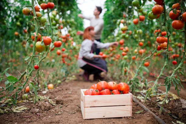 Picking Tomatoes In Greenhouse stock photo