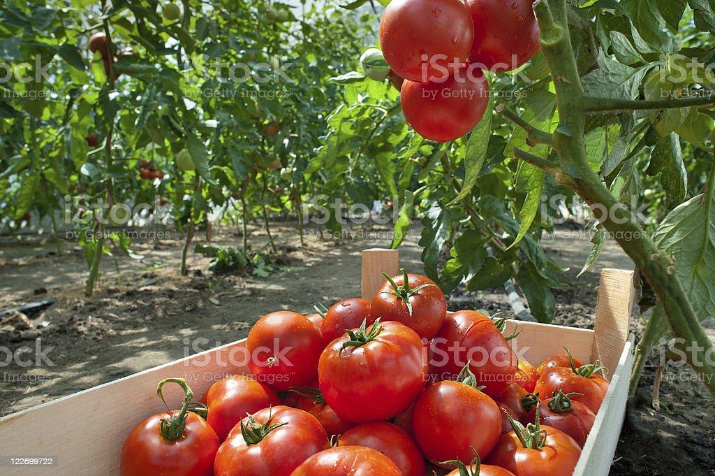 Pflücken Tomaten – Foto