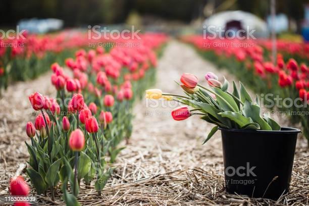 Picking tulips picture id1153038539?b=1&k=6&m=1153038539&s=612x612&h=ggmk7tl68a4lfvqhftcmduwh4odagjoyyi599jbvs18=