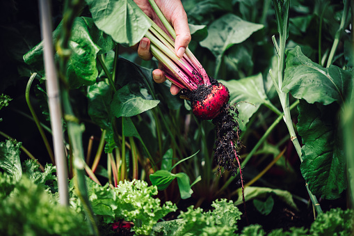 Close-up of a harvesting beetroot in garden. Picking up beetroot from vegetable garden.
