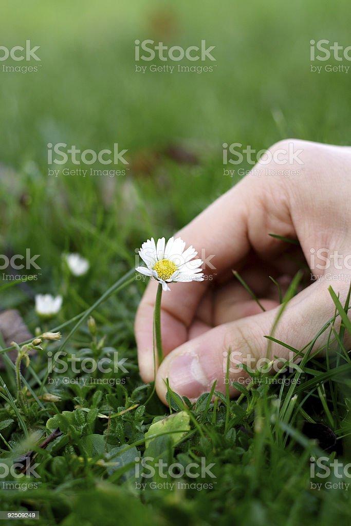 Picking up flower royalty-free stock photo