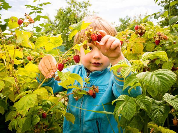 Picking up raspberries stock photo