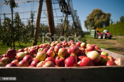 istock picking up the apples 184613235