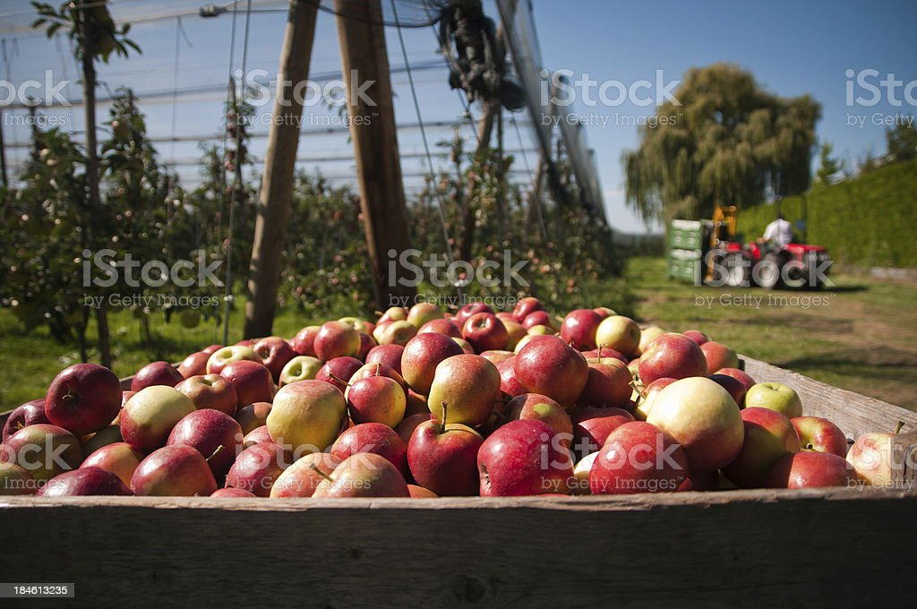 picking up the apples stock photo