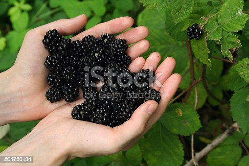 istock Picking Wild Blackberries. 504750134