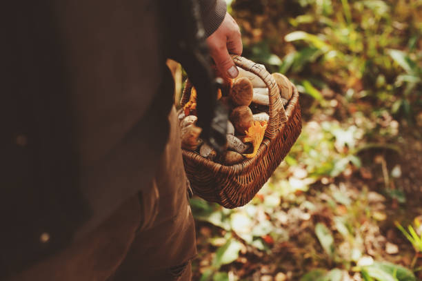 picking wild mushrooms in autumn forest. Hand holding basket full of mushrooms, lifestyle shot. stock photo