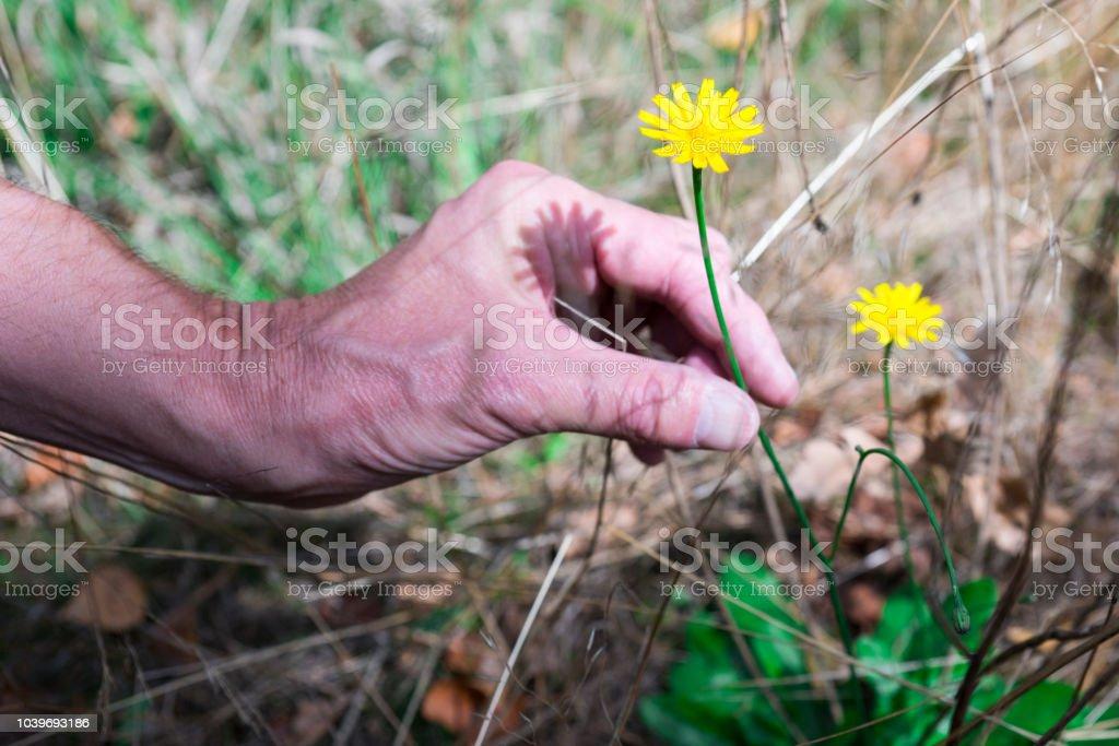 gele bloem, Biggenkruid radicata, plukken in bos foto
