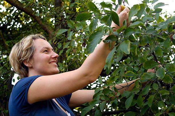 cueillir prune jaune - mirabelle photos et images de collection