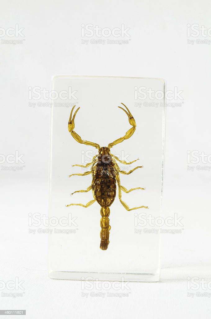 pickled scorpion stock photo