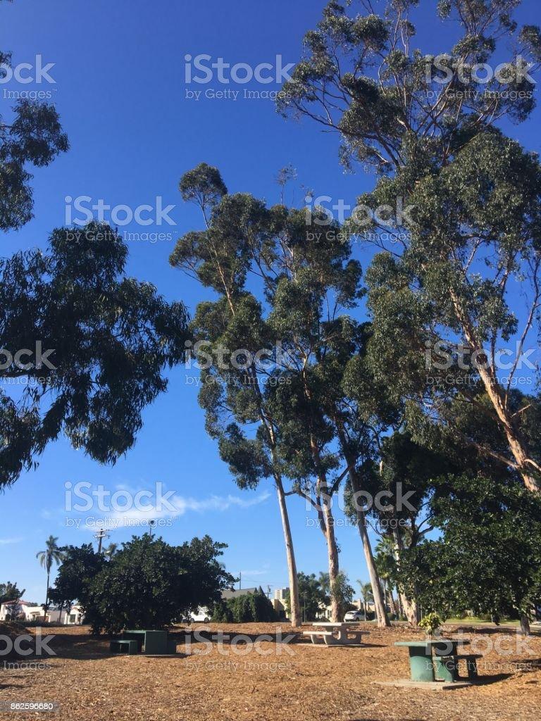 Picnic Tables & Eucalyptus Trees stock photo