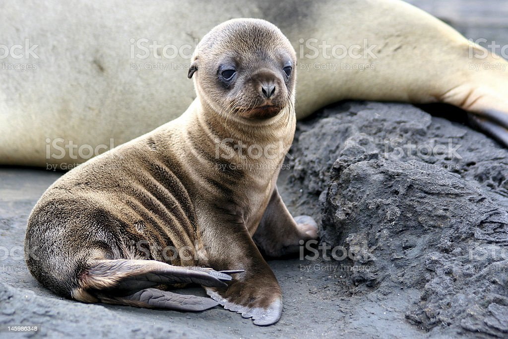 A picture of a baby sea lion sitting Sea Lion Puppy, Galapagos Islands Animal Stock Photo