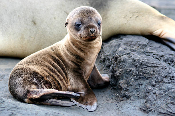 A picture of a baby sea lion sitting Sea Lion Puppy, Galapagos Islands south american sea lion stock pictures, royalty-free photos & images