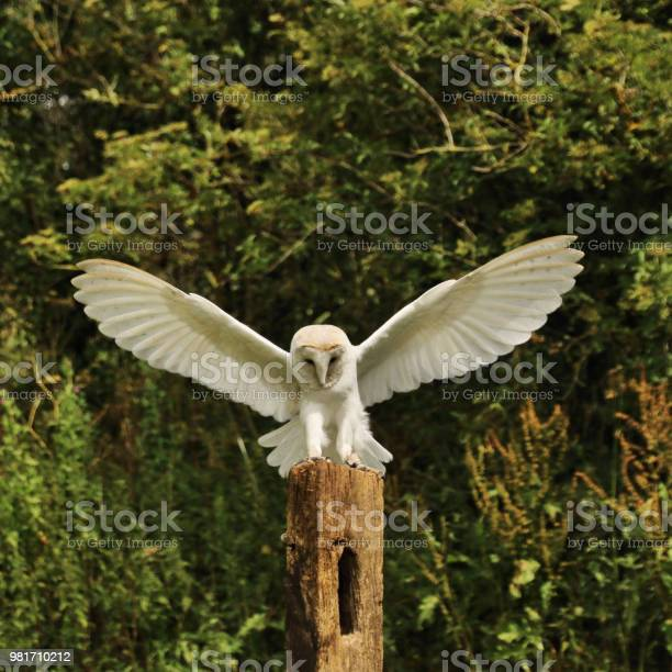 A Picture Of A Barn Owl Landing On A Post Stock Photo Download Image Now Istock