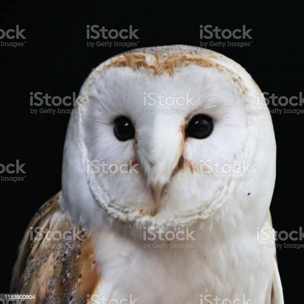 Picture of a barn owl picture id1153900904?b=1&k=6&m=1153900904&s=612x612&h=pasam6gqld60iphqqnnglkygtnpcr8t2 qxavmyxy5i=