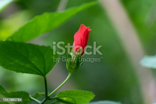 Picture of a beautiful Hibiscus (disambiguation) flower isolated on the green blur background. It's also widely known as rose mallow, hardy hibiscus, rose of sharon, and tropical hibiscus