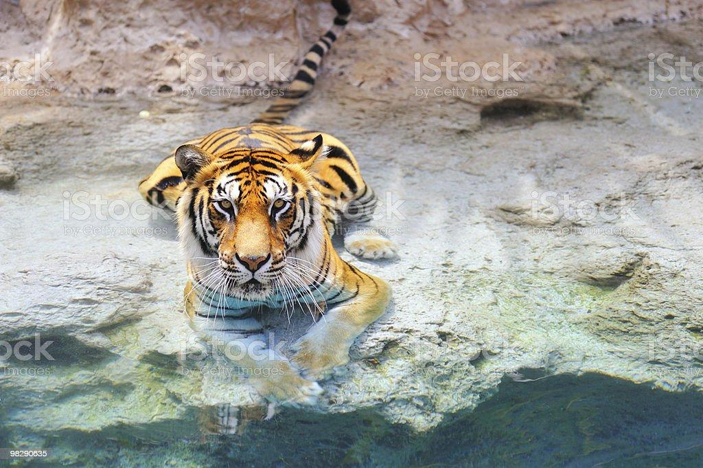 Immagine di una Tigre del Bengala vicino all'acqua foto stock royalty-free
