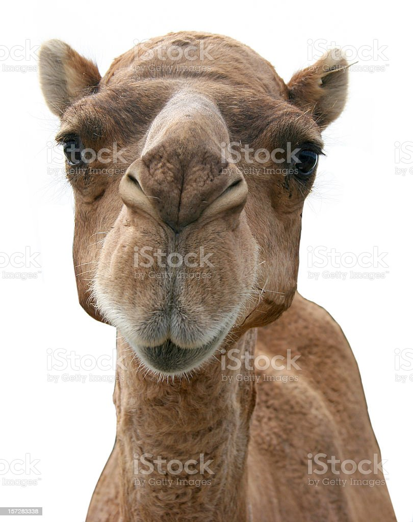 Picture of a camel's face on a white background stock photo