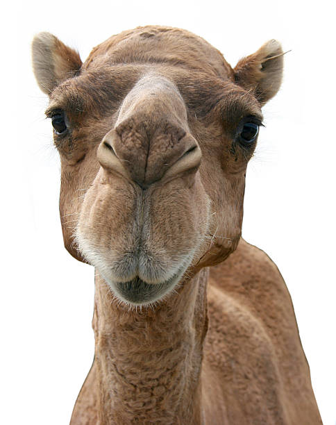 picture of a camel's face on a white background - deve stok fotoğraflar ve resimler