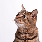 A tabby cat, isolated on a plain, white background, looks up.