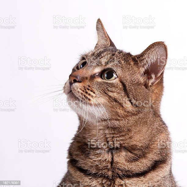 Picture of a cat on a white background looking up picture id182176351?b=1&k=6&m=182176351&s=612x612&h=rpfwnbysinfe6tk8e1xdbcmrblymr2i4wi87hgd 0i8=