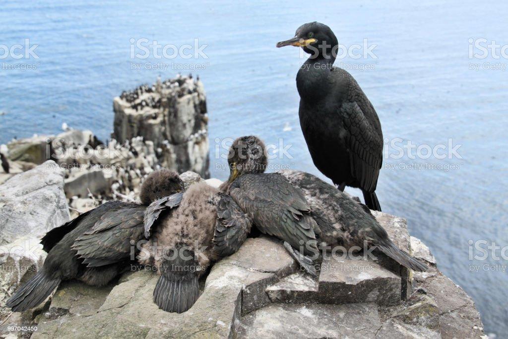 ファーン諸島で雛と鵜の画像 - 2...