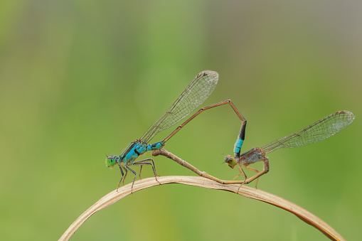 Picture of a Damselfly breed.