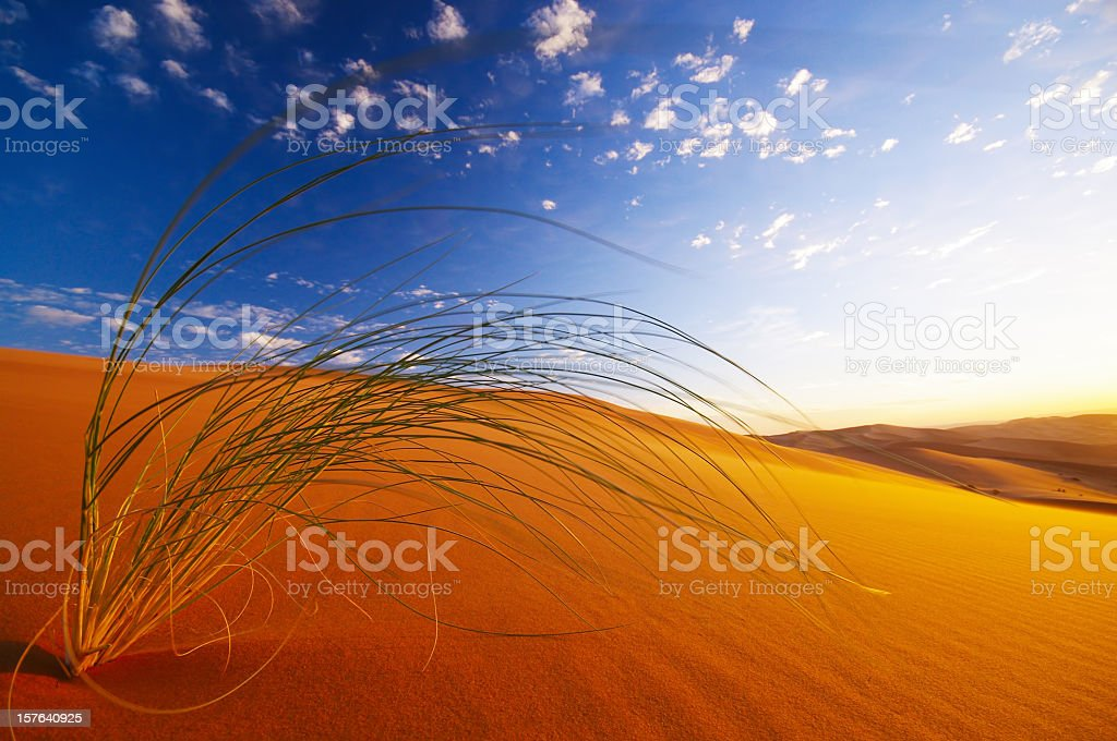 Picture of a desert plant in the Sahara on a sunny day royalty-free stock photo